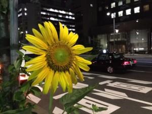 2015 都会の夜のひまわり